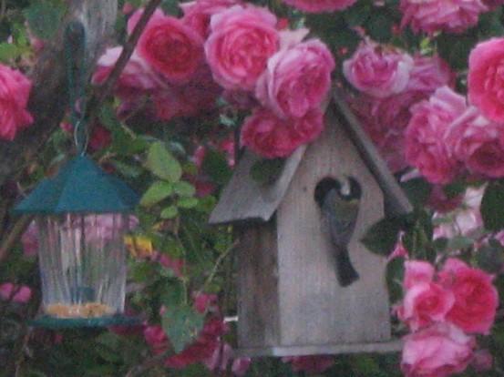 Carbonero entrando en nido
