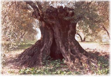 árboles, olivo centenario